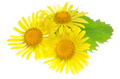 Yellow flowers with green leaf Royalty Free Stock Photos