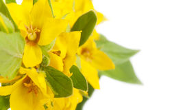 Yellow flowers with green leaves Royalty Free Stock Images