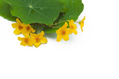 Yellow flowers and green leaves Royalty Free Stock Images