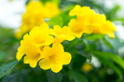 Yellow flowers and green leaves Royalty Free Stock Photo