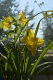 Yellow flowers and green leaves of daylily grow in small urban garden on the balcony.  royalty free stock photos