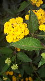 Yellow flowers. Yellow and green leaves flower Stock Image