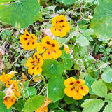 Yellow flowers and green leaves of nasturtium Stock Photo