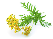 Yellow flowers and green leaves of tansy. Isolated on a white background close-up stock photo
