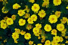 Yellow flowers with green leaves in between. Top view of yellow flowers with green leaves in between royalty free stock images