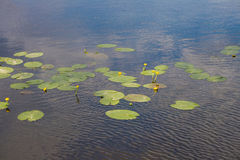 Yellow flowers and green leaves of water lilies in a blue lake stock photos