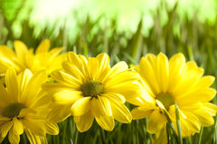 Yellow flowers on green meadow Royalty Free Stock Photos