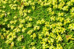 Yellow flowers and green moss Royalty Free Stock Photos