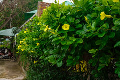 Yellow flowers in the greenery. Beautiful bright yellow flowers in the greenery of on the fence Royalty Free Stock Images