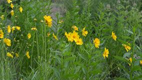 Yellow flowers grow by the road. Yellow flowers grow at the urban trails in the summer stock footage