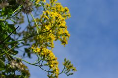 Yellow flowers growing on a bush. Fence stock photography