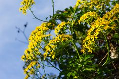 Yellow flowers growing on a bush. Fence stock image