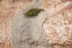 Yellow flowers growing in concrete on earthy red limestone rock Royalty Free Stock Image