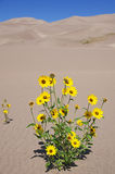 Yellow Flowers Growing In Dunes Royalty Free Stock Image