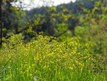 Yellow flowers growing in a field of grass stock image