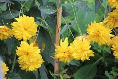 Yellow flowers Growing Royalty Free Stock Photo
