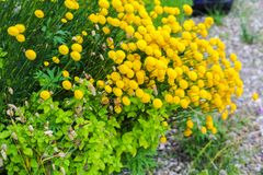 Yellow flowers growing in the garden. In the summer time Stock Images