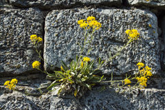 Yellow flowers growing on a rock Royalty Free Stock Photography