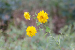 Yellow flowers growing on a summer meadow, big blur background. Royalty Free Stock Images