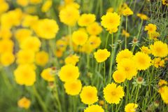 Yellow flowers growing wild. Royalty Free Stock Photos