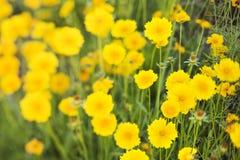 Yellow flowers growing wild. Royalty Free Stock Photos