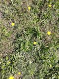Yellow flowers. Growing wild on the grass stock photo