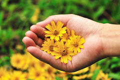 Yellow flowers in hand Stock Image