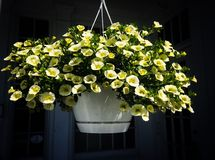Yellow Flowers in Hanging Pot stock photo