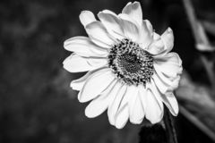Yellow flowers Helianthus tuberosus of topinambur - black and white. Art pictures royalty free stock photos
