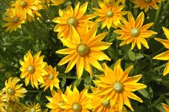 Yellow flowers Heliopsis. Stock Photos
