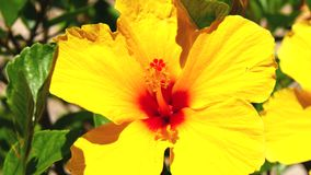 Yellow flowers hisbiscus (4K). Yellow flowers hisbiscus in a garden (4K stock footage