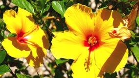 Yellow flowers hisbiscus (4K). Yellow flowers hisbiscus in a garden (4K stock video