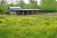 Yellow Flowers & Horse Barn Royalty Free Stock Photo