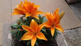 Orange flowers. 3 beutifull Flowers stock photography