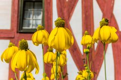 Free Yellow Flowers In Front Of A Half Timbered House In Limburg Stock Photography - 155307752