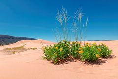 Free Yellow Flowers In The Sand Dunes Stock Images - 124240894