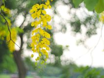 Yellow flowers that are inflorescence hanging from the flowering trees in the summer of Thailand, the Thai people called Ratchapru. Ek or Kone. The scientific Stock Image