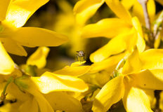 Yellow flowers and insect Royalty Free Stock Images