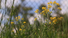 Yellow flowers with insects. Video close up of springtime yellow flowers in bloom stock video