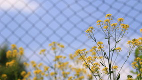 Yellow flowers with insects. Video close up of springtime yellow flowers in bloom stock footage