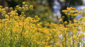 Yellow flowers with insects. Video close up of springtime yellow flowers in bloom blowing in the wind stock video