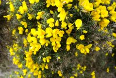 Yellow flowers Ireland Royalty Free Stock Photo