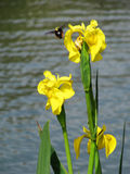 Yellow flowers Irises and a bumblebee in flight Stock Photo