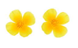 Yellow flowers isolate Stock Photography