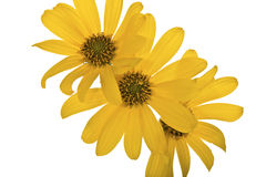 Yellow flowers isolated Stock Images