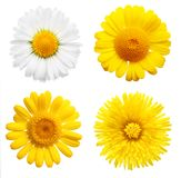 Yellow flowers isolated Royalty Free Stock Photo
