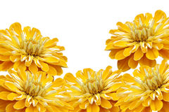 Yellow flowers isolated on white Royalty Free Stock Photography