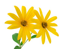 Yellow flowers. Isolated on a white background Royalty Free Stock Image