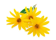 Yellow flowers. Isolated on a white background Royalty Free Stock Photo