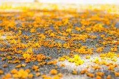 Yellow flowers of Jacaranda. On the ground in Barcelona Stock Photography